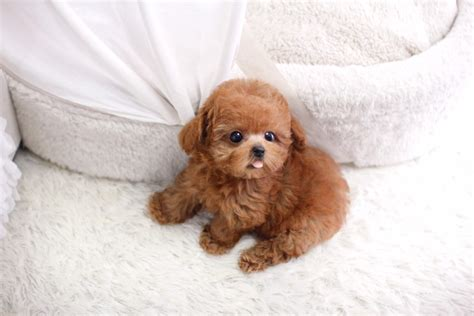 micro teacup puppies sold micro teacup poodle itsy puppy teacup microteacup puppies for sale