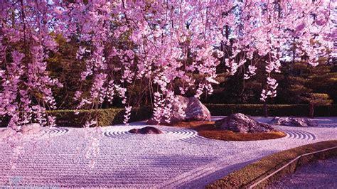 wallpaper animasi japan gambar bunga sakura yang banyak bunga sakura yang cantik