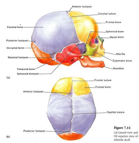 diagram of the skull human skull diagrams diagram site