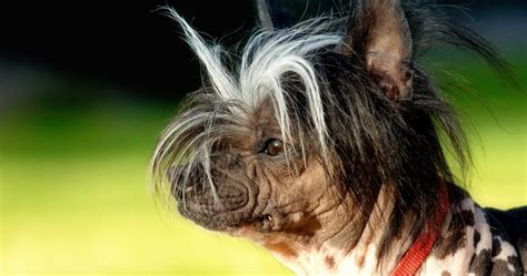 ugliest breed pin dogs breeds on
