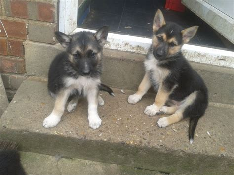 german shepherd siberian husky mix puppies german shepherd husky mix beautiful breeds picture