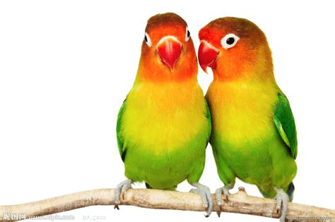 两只鹦鹉摄影图 鸟类 生物世界 摄影图库 昵图网nipic