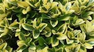 Foliage Plants For Full Sun - euonymus japonicus aureomarginatus alpine nurseries