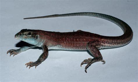 strange tale    species  lizard   york times