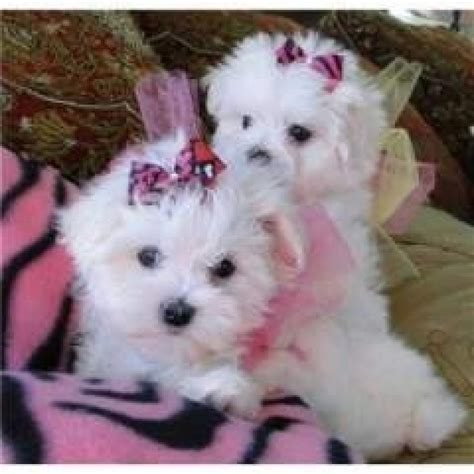 puppies for sale in indiana white maltese puppies for sale dogs puppies indiana free