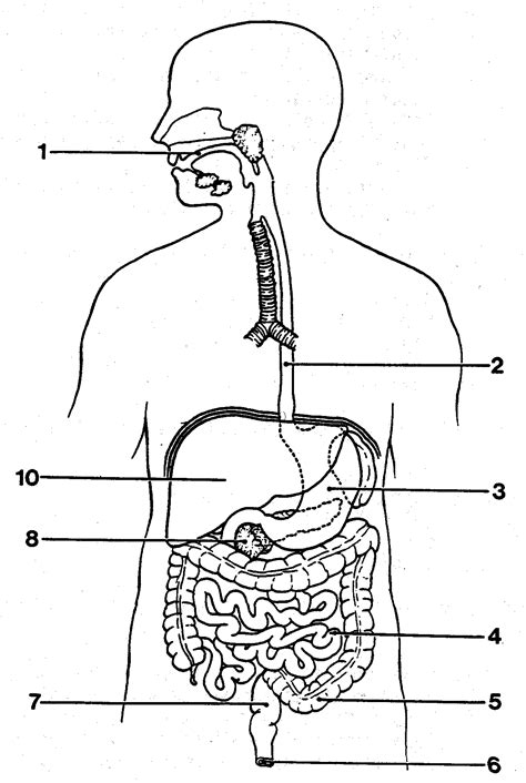 labeled digestive system diagram digestive system diagram blank anatomy human