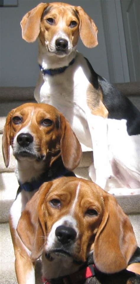 beagle puppy rescue top 25 best beagle ideas on beagle puppies beagle puppy and beagles