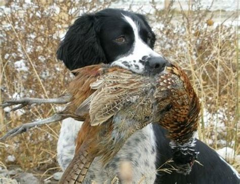 best duck dogs best duck gun for 2014 autos post