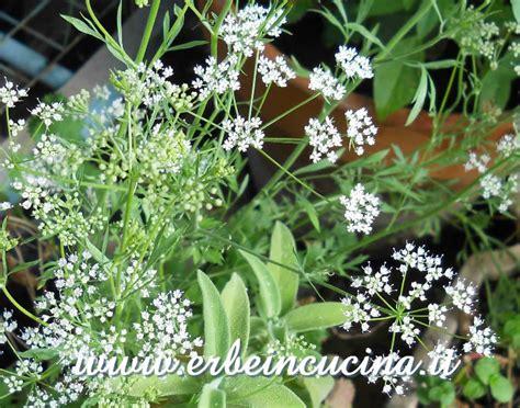 fiori di anice erbe in cucina photo gallery anice verde