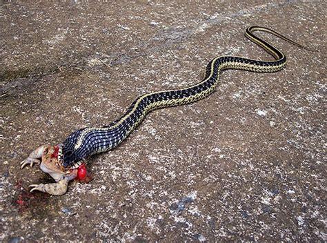 Garden Snakes Eat Garter Snake Toad Flickr Photo
