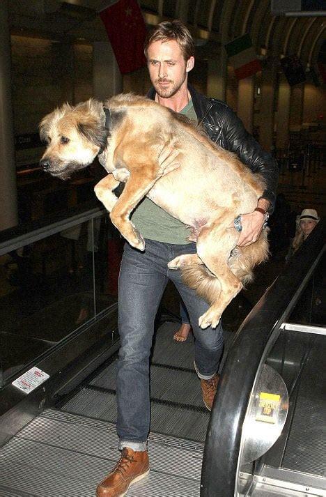 ryan gosling carried  full grown dog george   baby  hot celebrities  dogs