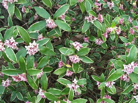 evergreen shrub with pink flowers the world s catalog of ideas