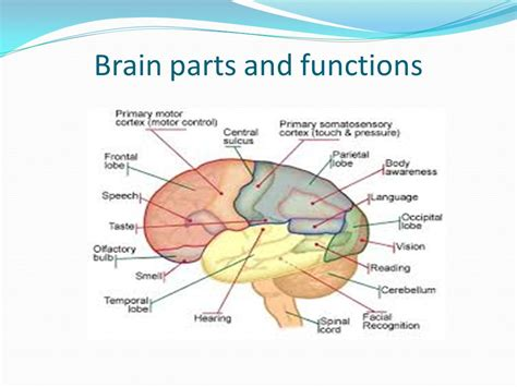 sections and functions of the brain brain sections and functions 28 images what