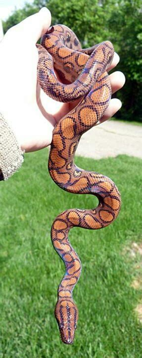 pigmentation pattern formation on snakes 60 best boa python images on pinterest amphibians