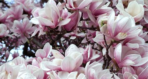 Home Decor Trends History by Louisiana State Flower The Magnolia Proflowers Blog