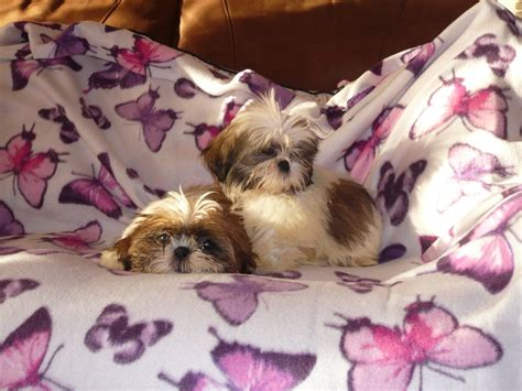 3 month shih tzu 1 shih tzu 3 month hinckley leicestershire pets4homes