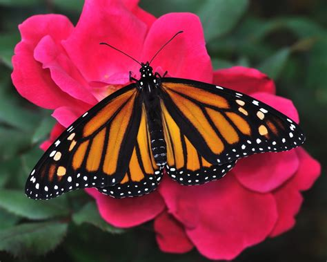 the monarch of the more evidence monarchs should be listed as threatened