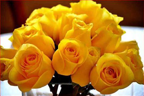 imagenes de rosas hermosas amarillas hermosas rosas amarillas para descargar al celular