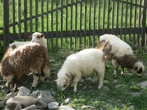 breeds for sheep breeds for fiber or dairy countryside network