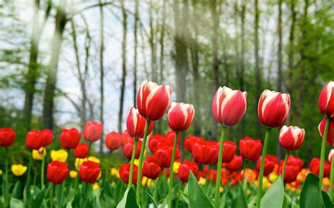 flower wallpaper new 2015 tulip flowers new full screen hd wallpapers hd wallapers