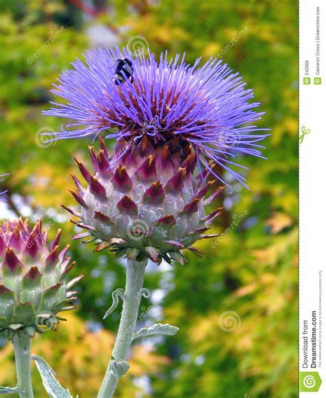 fiore carciofo ape sul fiore carciofo fotografia stock immagine di