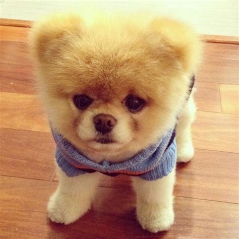 Boo Boo The by 1000 Images About Boo The Cutest On