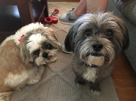 shih tzu knee problems helping a pair of shih tzu s learn to follow their guardian s lead problems