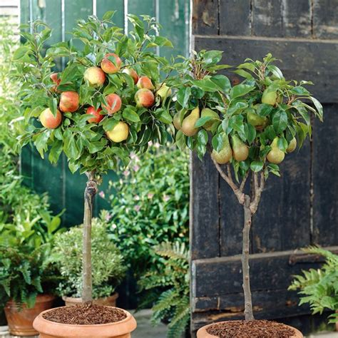 fruit tree planting guide suttons general guide to planting and growing fruit trees
