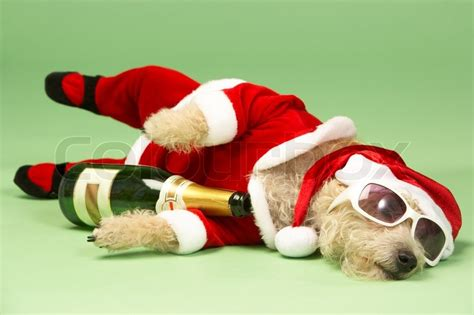 a drunk dog after a christmas party stock photo colourbox