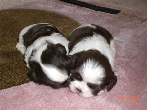 newborn shih tzu puppies the gallery for gt newborn shih tzu puppies