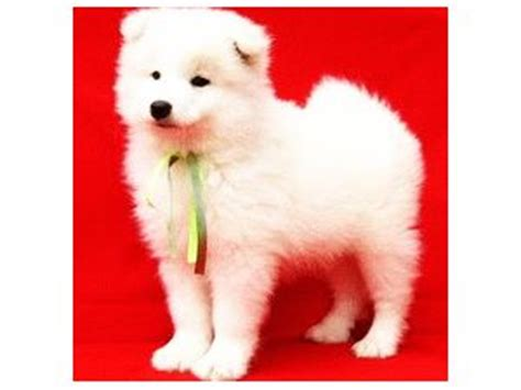 samoyed puppies for sale florida samoyed puppies for sale