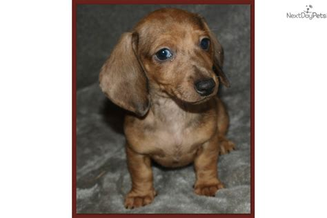 dachshund puppies price dachshund puppies price reduced 600 breeds picture