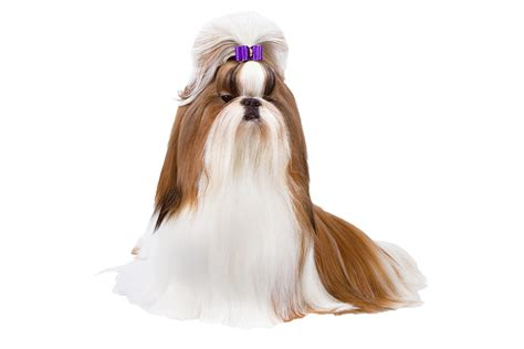 shih tzu hair types 25 breeds that look like toys wow amazing