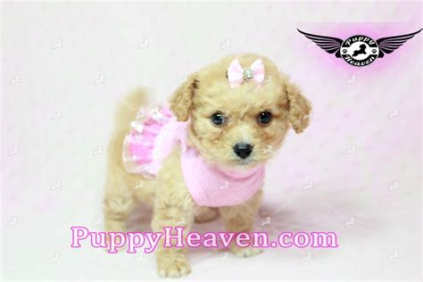 puppy rescue los angeles teacup poodle rescue los angeles dogs our friends photo