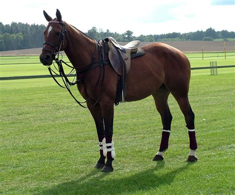 More Ponies For Polo what is the age for a polo equestrian