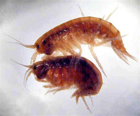 The Pest Advice Gammarus Large Flea Shaped Bugs