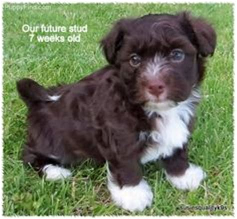 puppies for sale in marquette mi 1000 images about chocolate havanese on havanese puppies coton de tulear