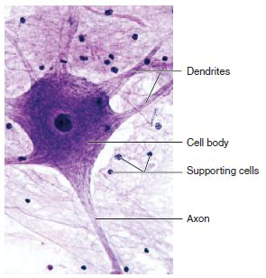 nervous tissue  specialized  electrical  chemical