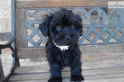 shih poo puppies for sale in va shih poo shihpoo puppy for sale near hton roads virginia 50993763 0ec1