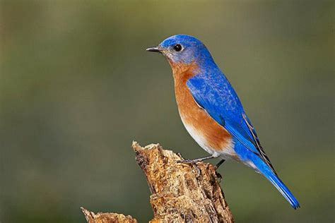 related keywords suggestions for eastern bluebird