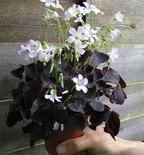 tanaman false shamrock bibitbungacom