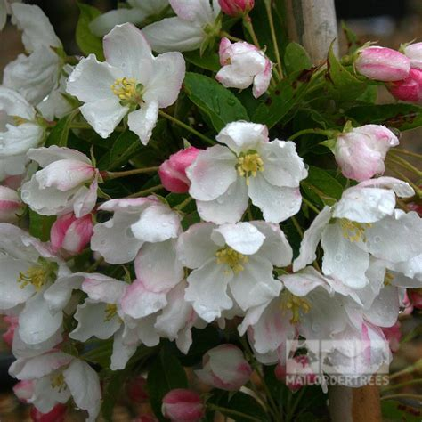 Admiration Tree malus admiration crab apple tree mail order trees