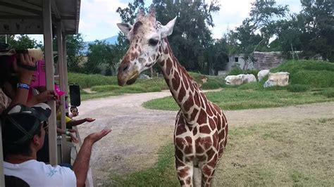 hermosa la jirafa una chuladaa zoologico de gdl youtube