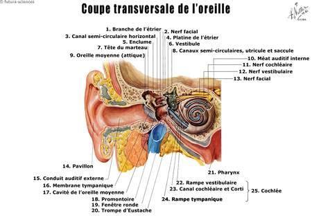 dossier gt l oreille anatomie et physiologie