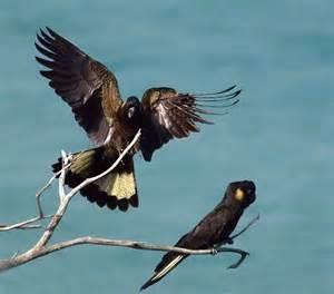 Best Backyards yellow tailed black cockatoo birds in backyards