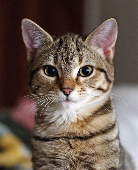 tabby cat wikipedia file gatto europeo4 jpg wikimedia commons