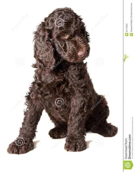 brown poodle puppy brown poodle puppy stock photography image 22175262