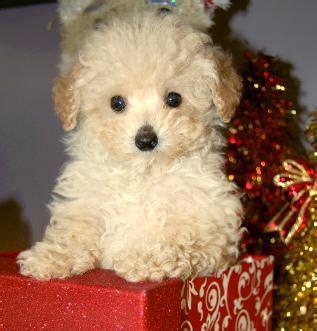 snickerdoodle puppies adorable ckc border doodle puppy is a border collie collie breeds picture