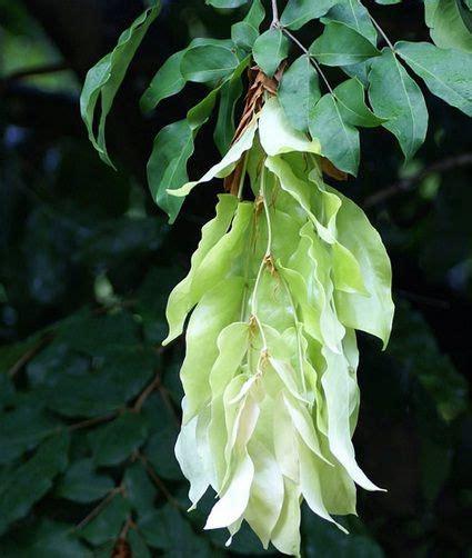 tanaman pohon sapu tangan tanaman obat pinterest