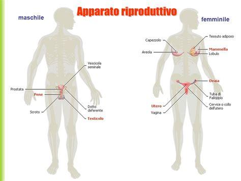 corpo umano maschile organi interni apparato riproduttivo ppt scaricare